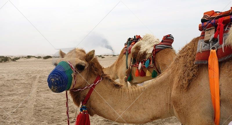 مسابقه شترسواری از قدیم ورزش شیخها بوده است که تا امروز نیز ادامه دارد و در حال حاضر در دهکده الشحانیا و در محل مسیر شترسواری معروف این دهکده برگزار میشود.